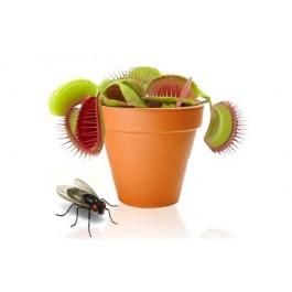 Planta Carnívora ''Fly Trap''